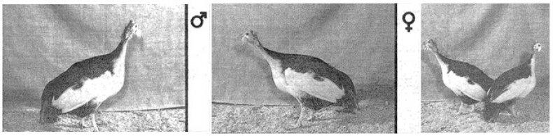 цесарка, загорская, белогрудый, описание
