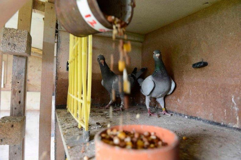 Питание голубей