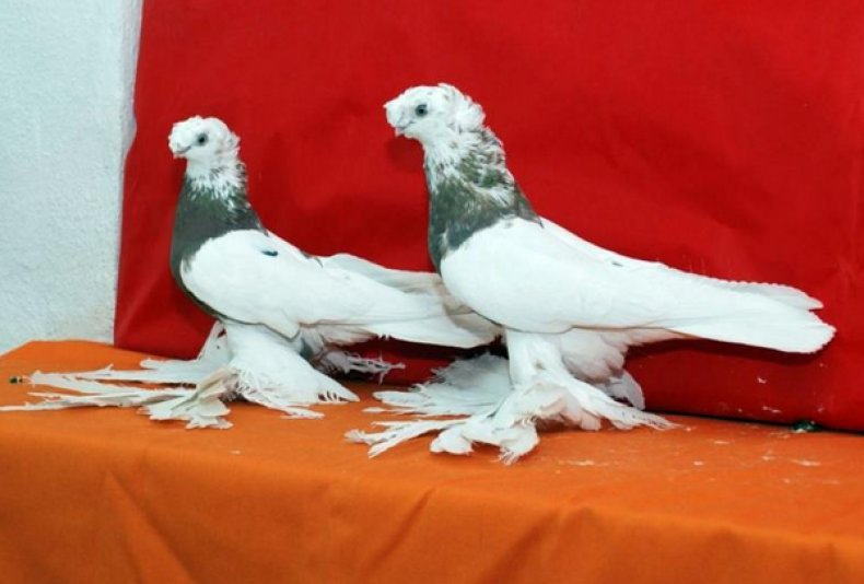 Андижанские голуби стандарт породы и особенности содержания