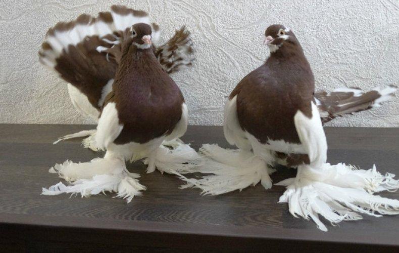 Волжские ленточные голуби