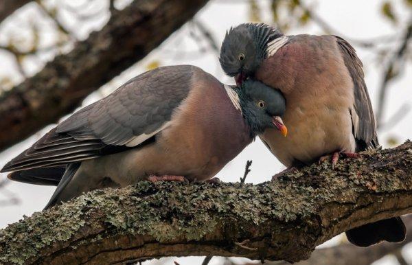 Дикий лесной голубь вяхирь или витютень
