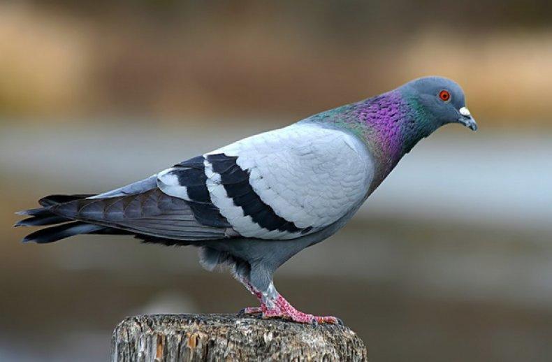 Сизый голубь