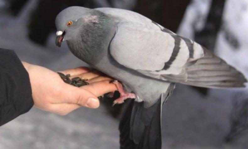 сизый, голубить, описание, фото, обитать, питать