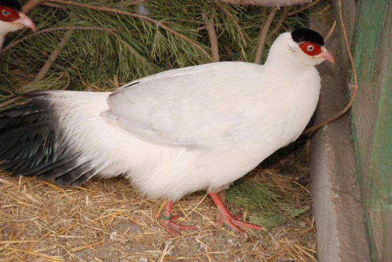 Белый ушастый фазан