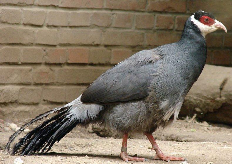 Тибетский фазан