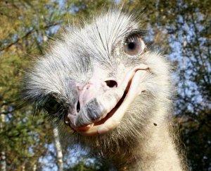 Породы страусов и содержание страусов