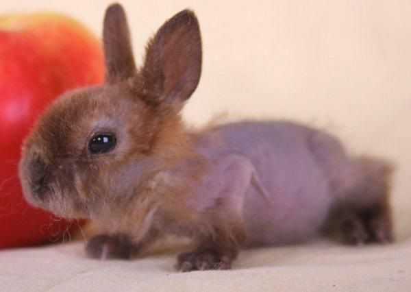 Декоративный кролик лысеет что делать