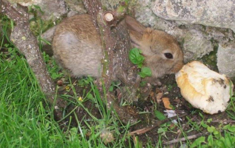 Кролик кушает хлеб