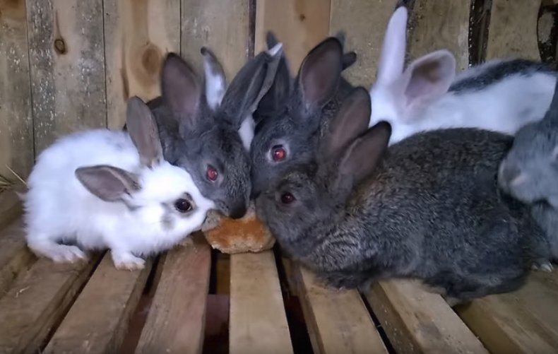 Кролики едят хлеб