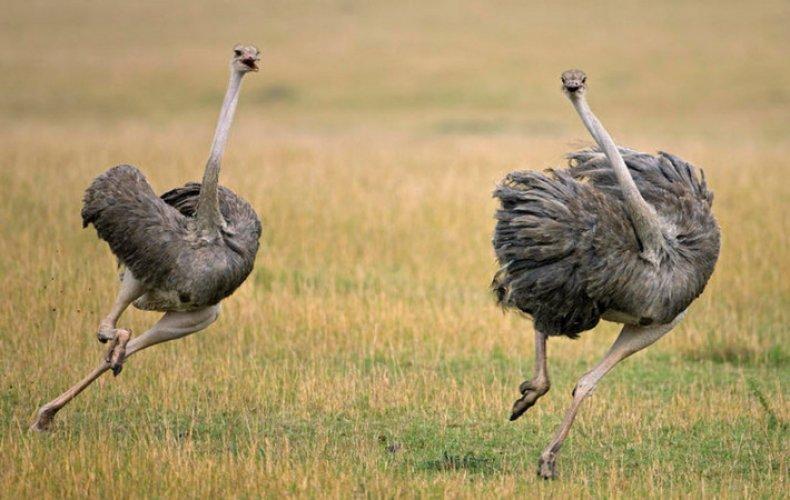 С какой скоростью бегает страус