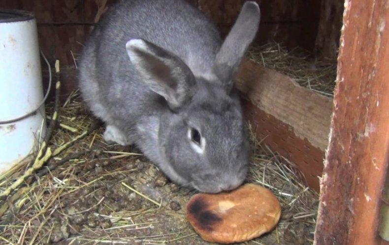 Кролик кушает хлебное изделие