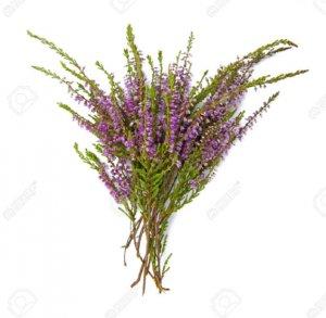 Лечебные свойства вереска, чем полезно растение