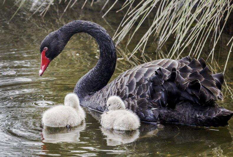 лебедь, домашний, природа, длительность жизни