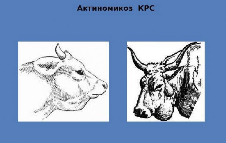 Актиномикоз крупного рогатого скота (КРС) симптомы и лечение, профилактика