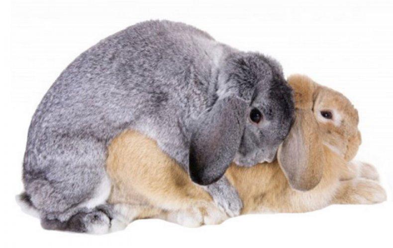 скрещивание, кролик, спаривать, животное