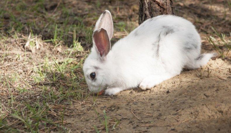 листериоз, кролик, симптом, лечение, профилактика