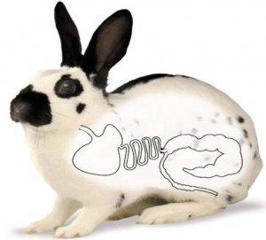 Вздутие у кроликов