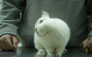 Энцефалозооноз у кролика
