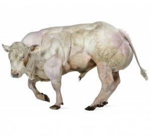 Бельгийская голубая корова