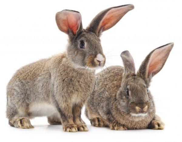 Псороптоз Ушная Чесотка у Кроликов