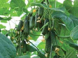 Желательно выращивать рассаду для сорта «Эколь»