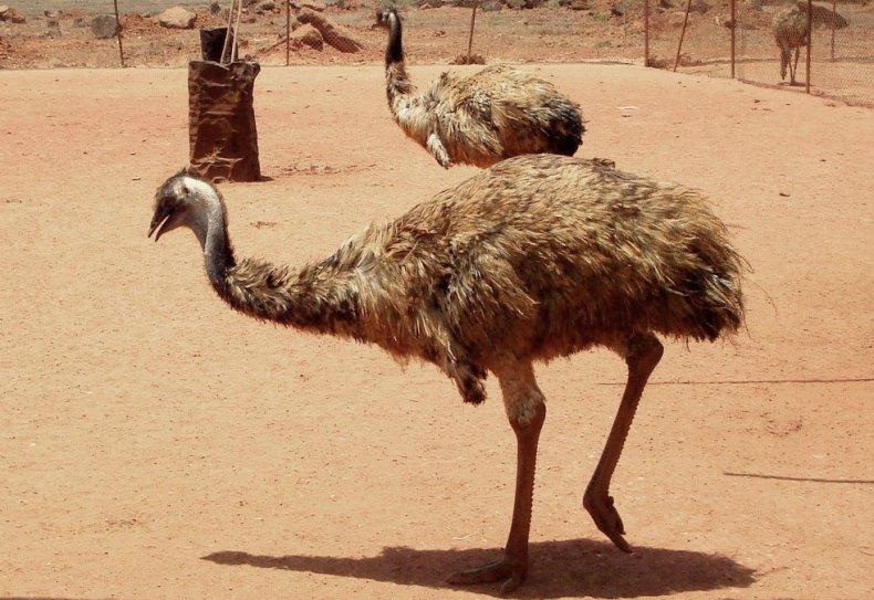 страус, описание, фото, обитать, питать, содержание