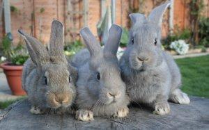 Ампролиум» для кроликов против чего используют, инструкция по применению