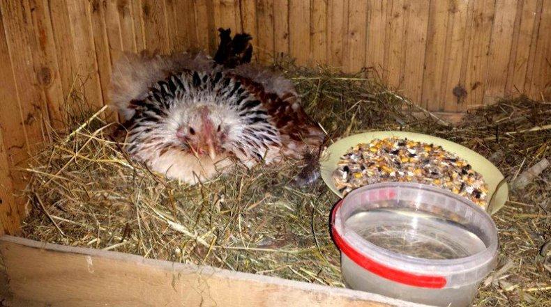 высиживать, яйцо, цесарка, яйца цесарки, крупную курицу