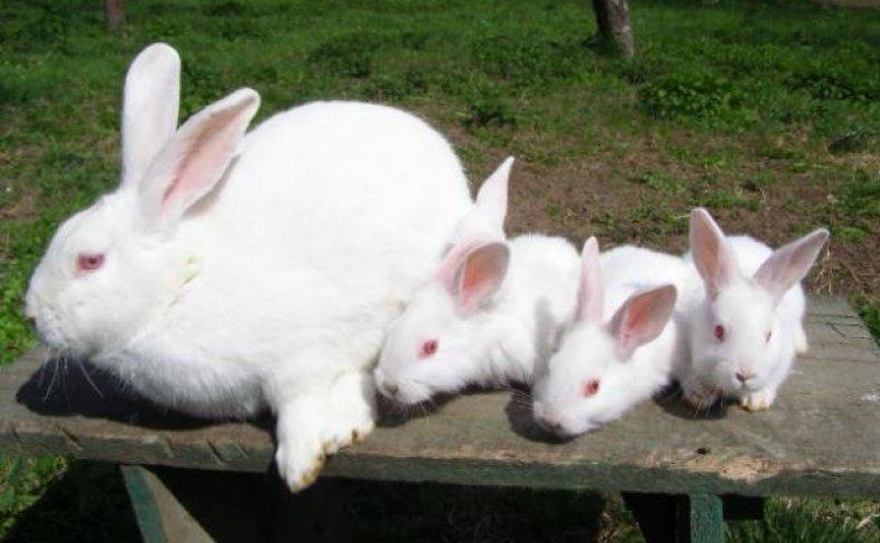 кролик породы белый паннон
