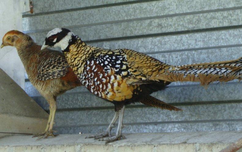 Болезни фазанов симптомы и лечение, профилактика