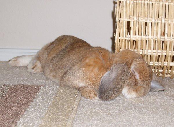 Что делать если у кроликов вздулся живот
