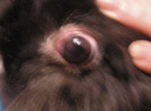 Болезнь глаз у кроликов причины, способы лечения, профилактические меры