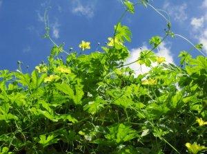 Момордика выращивание из семян