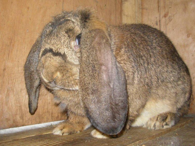 весить, кролик, таблица, месяц, возрасте дней