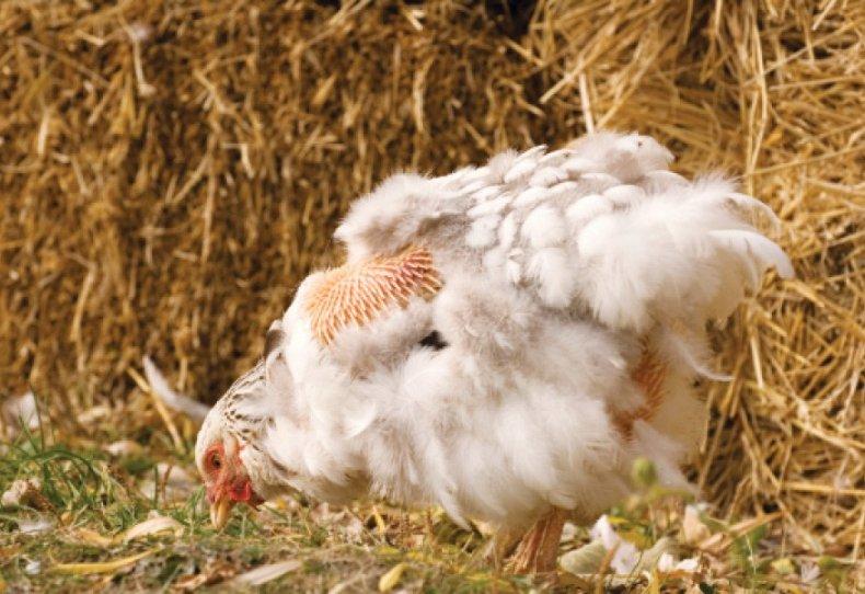Линька у курицы