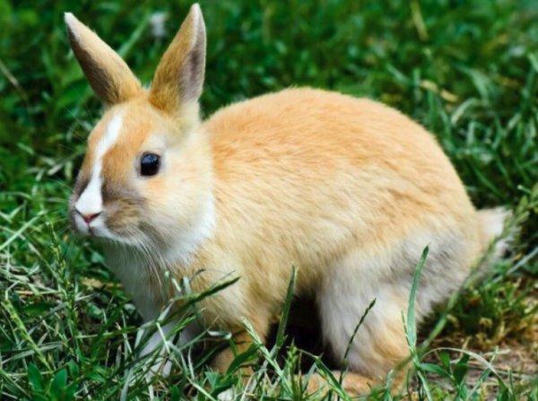 Сердечная недостаточность у кролика