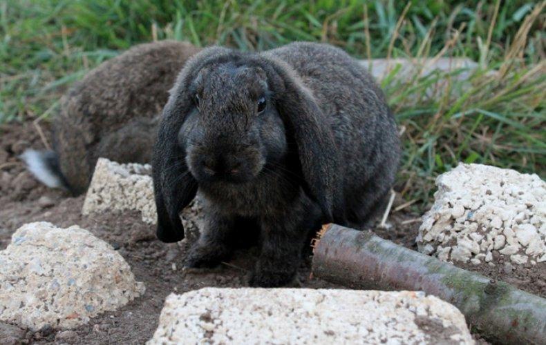 кролик, укроп, польза, вред