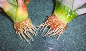 Как посадить ананас