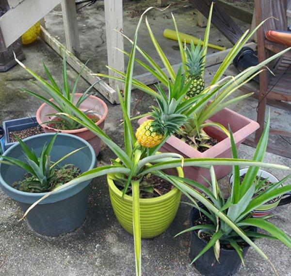 как посадить семена туи в домашних условиях