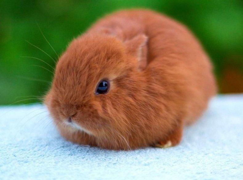 Лисьий карликовый кролик