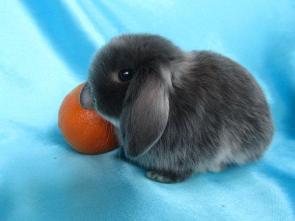 Короткошерстный карликовый кролик разведение