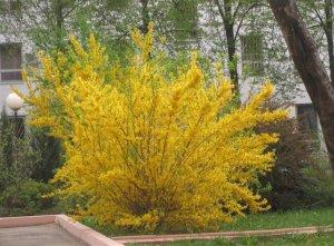 цвести, форзиция, форсайтия, цветет форзиция, других садовых