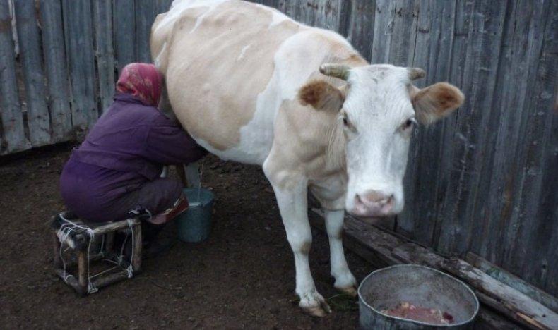 Доят корову