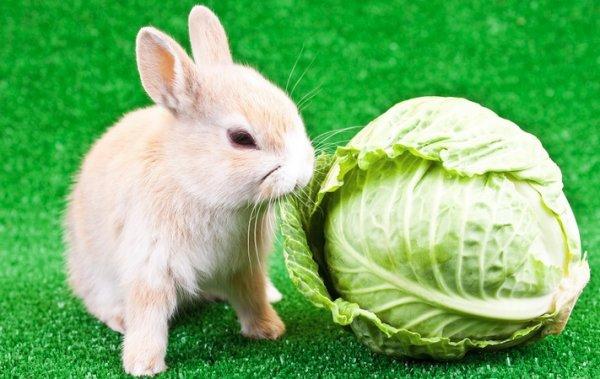 Можно ли добавлять кроликам в рацион капусту