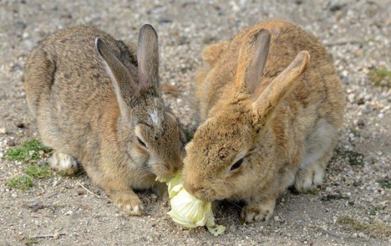 Кролики кушают капусту