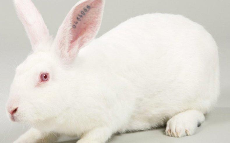 Кролик французский хиколь
