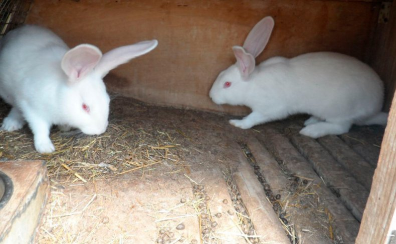 Кролики хиколь