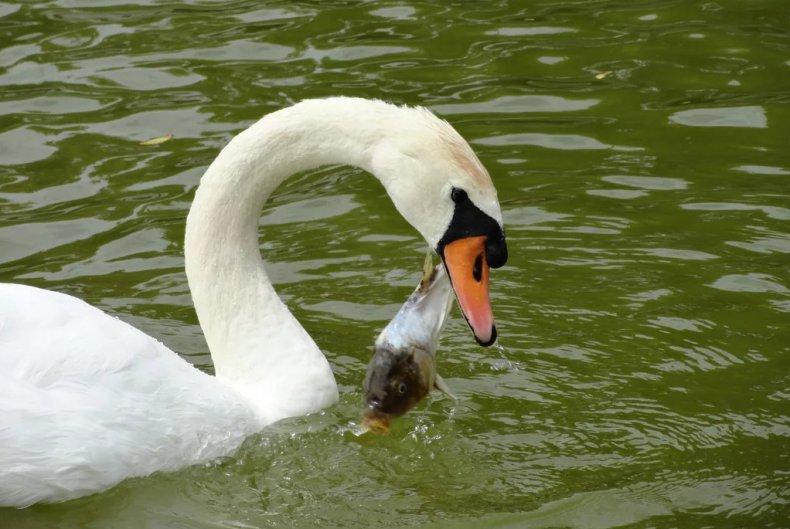 Что едят и чем кормить лебедей