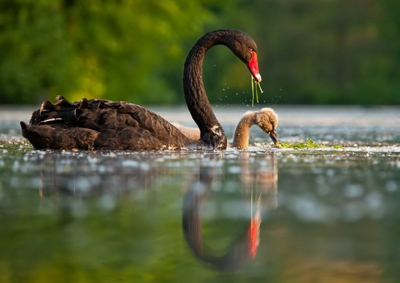 Рацион лебедя