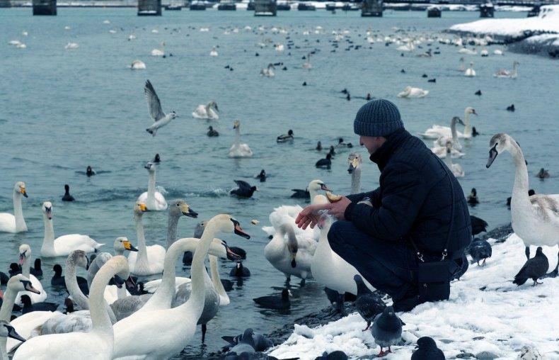 Подкормка лебедей зимой